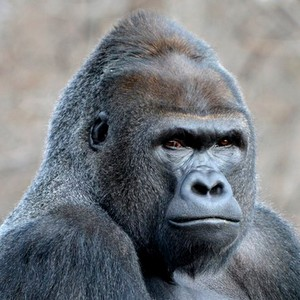 gorilla300